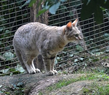 An African Wildcat in a zoo