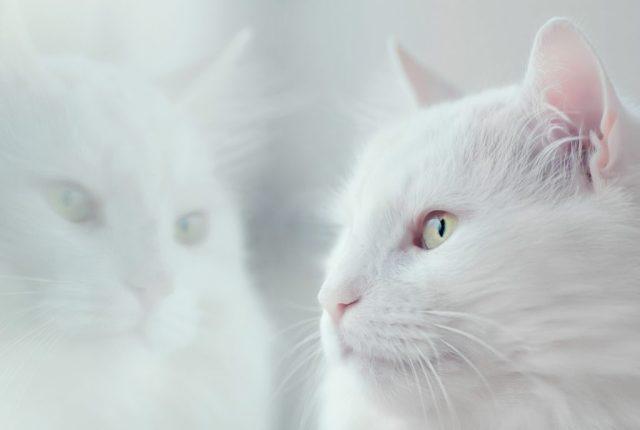 White fluffy cat with its face next to a window showing a reflection
