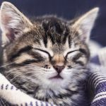 Kitten sleepy with eyes closed