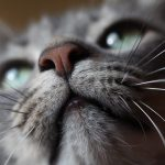 Gray cat with face close to the camera