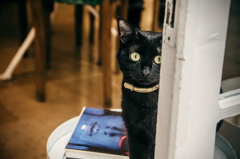 Black cat in a calming collar sitting behind a door