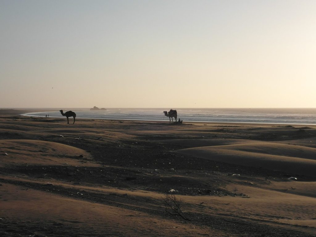 camels on beach at sunst