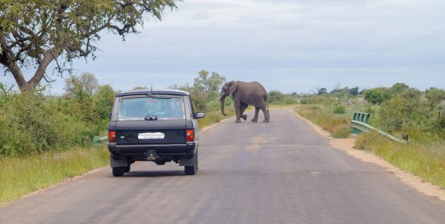 Elephant crossing the road in front of 4WD