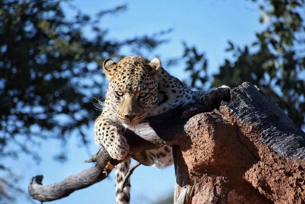 Leopard at Afrikat, Namibia