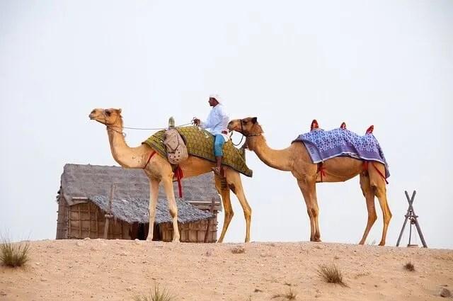 camels in the UAE desert