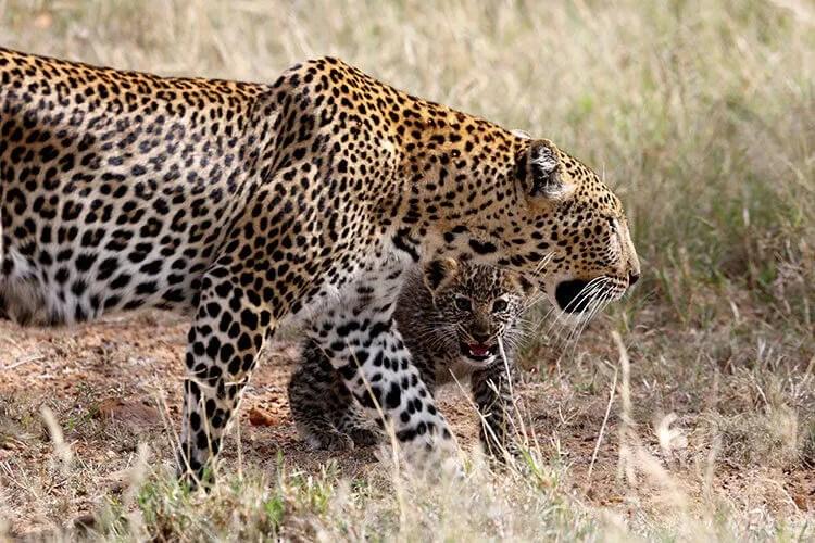 leopards at loisaba in Kenya