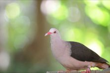 mauritius pink pigeon at black river gorges national park