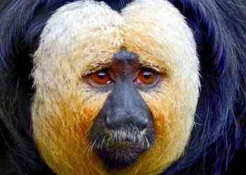 monyet saki - Ga nyangka, 13 Hewan teraneh di dunia ini emang beneran ada