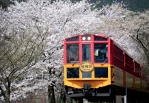 嵐山小火車櫻花