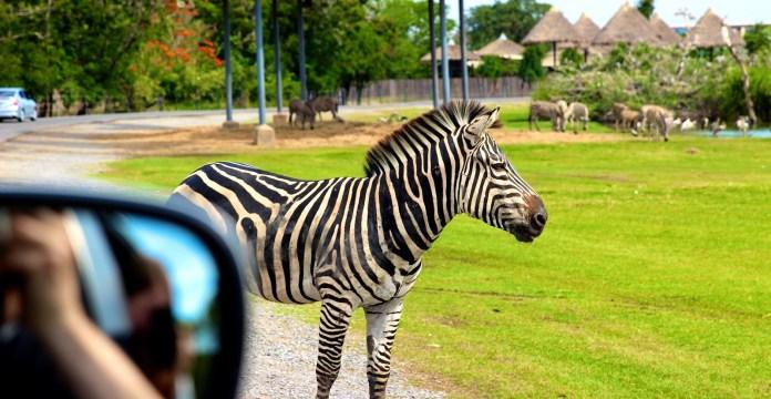 Safari World斑馬