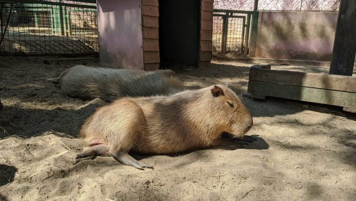 Safari World水豚