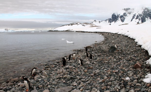 cuverville penguins