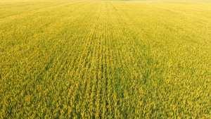 Golden wheat field grown by Trawin Seeds in Melfort, Saskatchewan, Canada