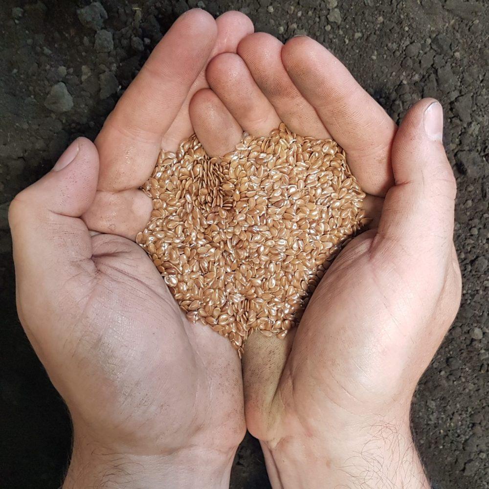SeCan CDC Sorrel Flax held in hand over soil
