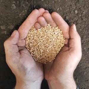 FP Genetics CDC Landmark VB Wheat in hand ready to seed