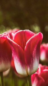 Sony Xperia 5 Tulip Flower HD Wallpapers