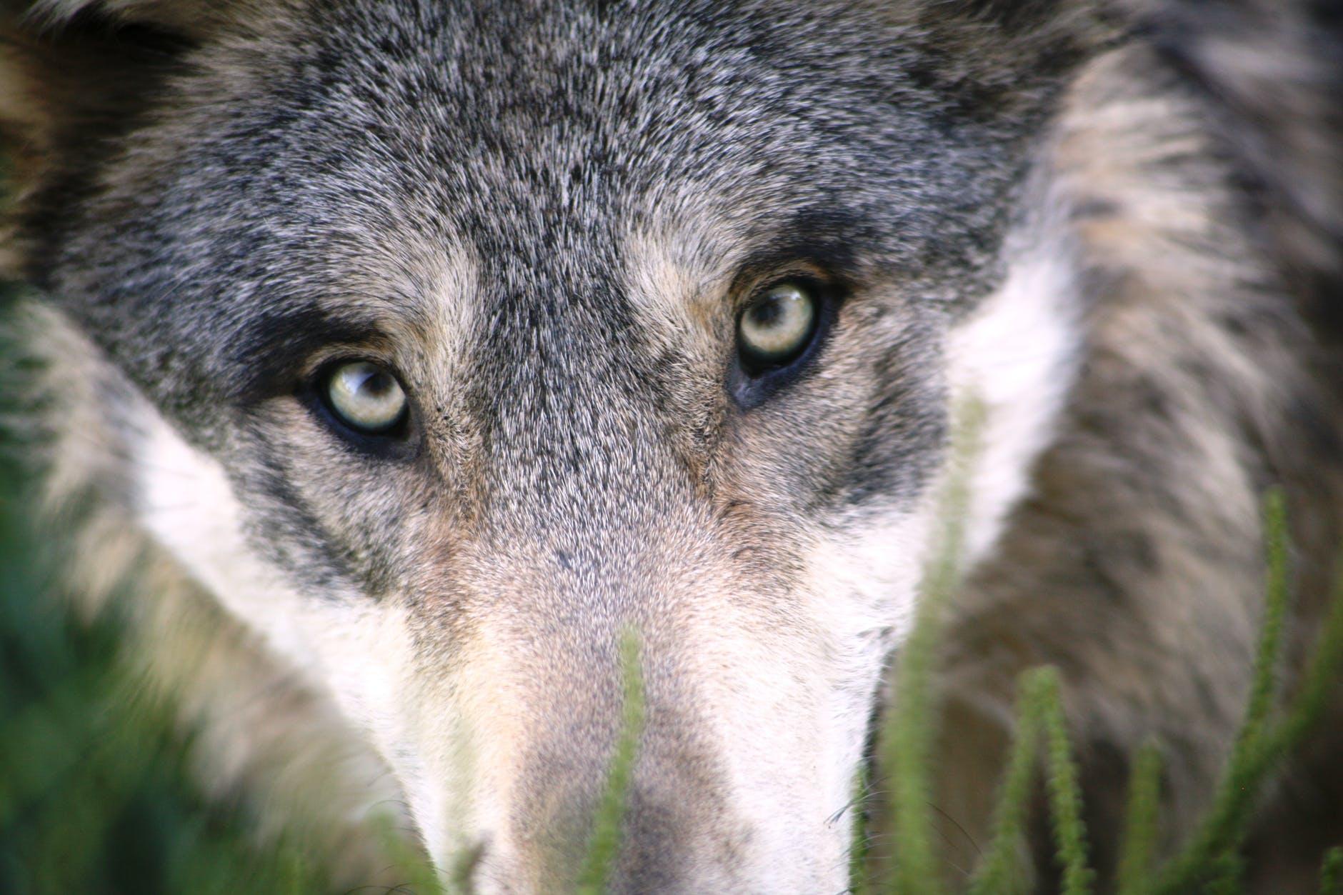 Keine Angst vom bösen Wolf gefressen zu werden