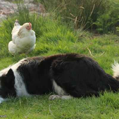 Floss and the old white hen.  She was on her last days during my visit and I am happy to have captured her spirit in this photo, poor dear.