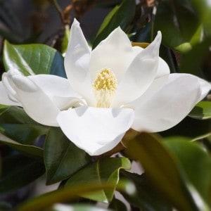 Steel magnolia sterotype