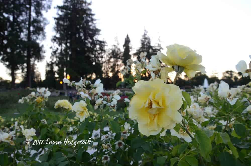 Mature Roses in San Jose
