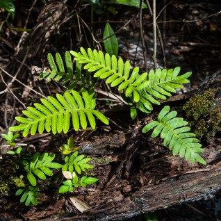 poikilohydry-pleopeltis-polypodioides-11