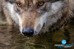 Thirsty like the wolf