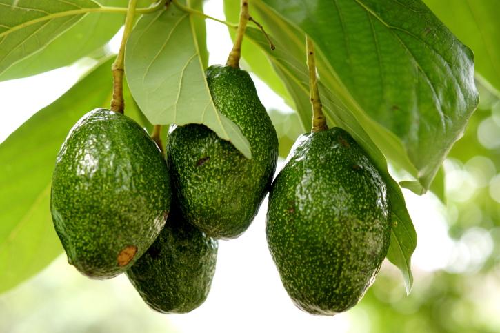 Avocado on the tree