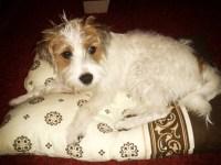 kleiner Hund auf Kissen