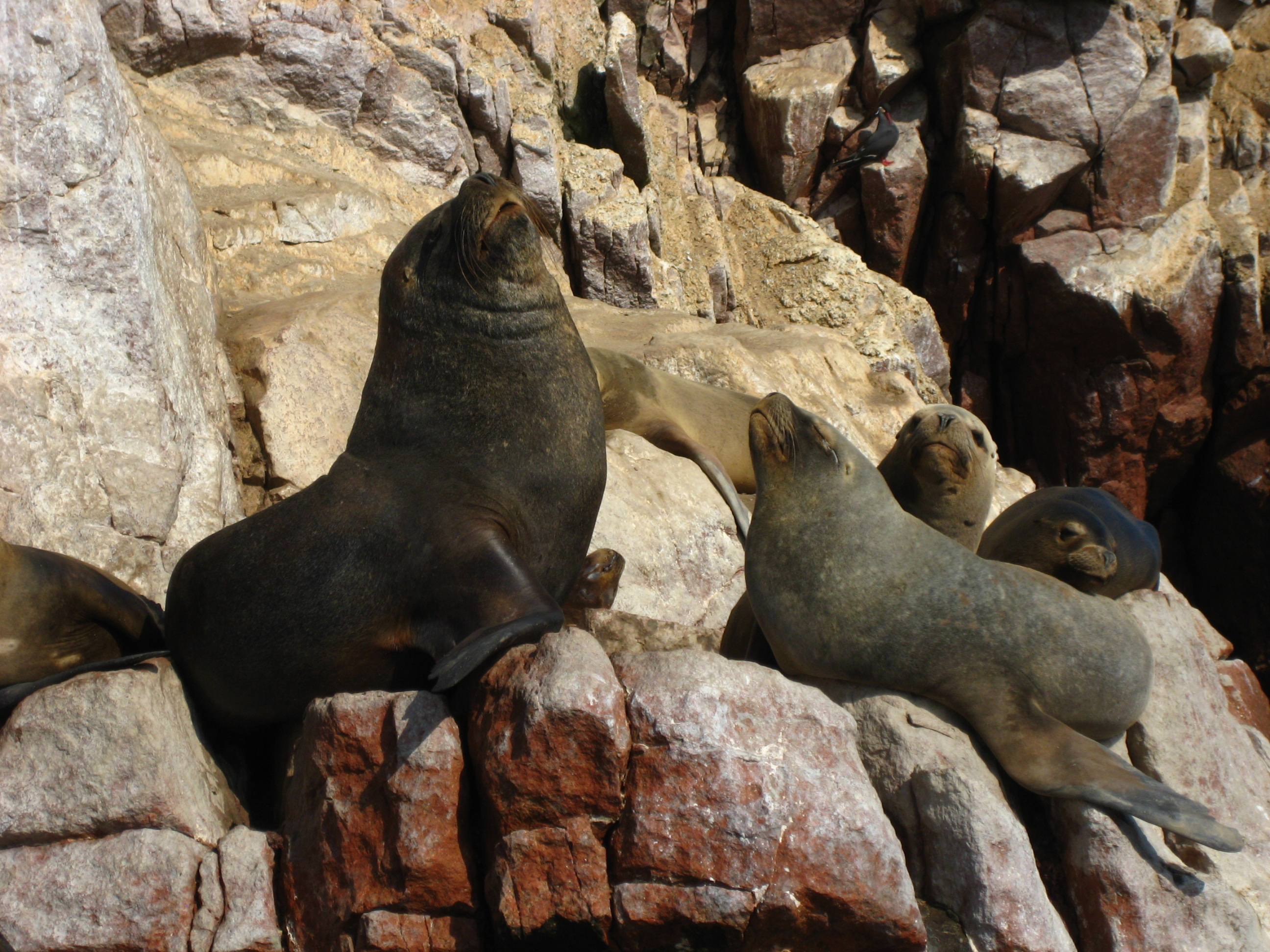 Sea Lions basking in the sun on the Islas Ballestas off the coast of Pisco, Peru!