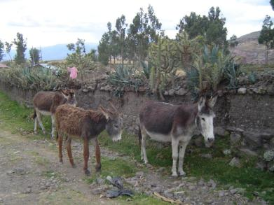 Donkeys in Socos, Peru.