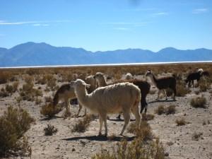 Alpacas in San Antonio de los Corbes in northern Argentina!