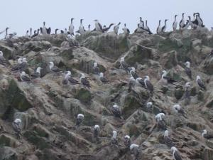 Just a few of the thousands of birds on the Ballestas Islands!