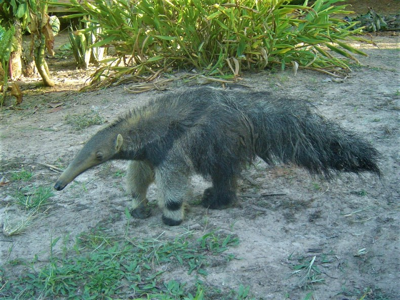 It was an awesome experience to get to view some of the animals found in the Amazon Jungle, like this ant eater.