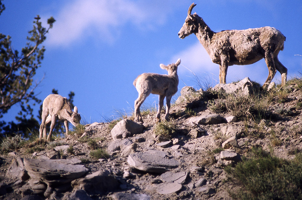 Mountain Goats YNP2