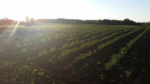 Potato Field 2