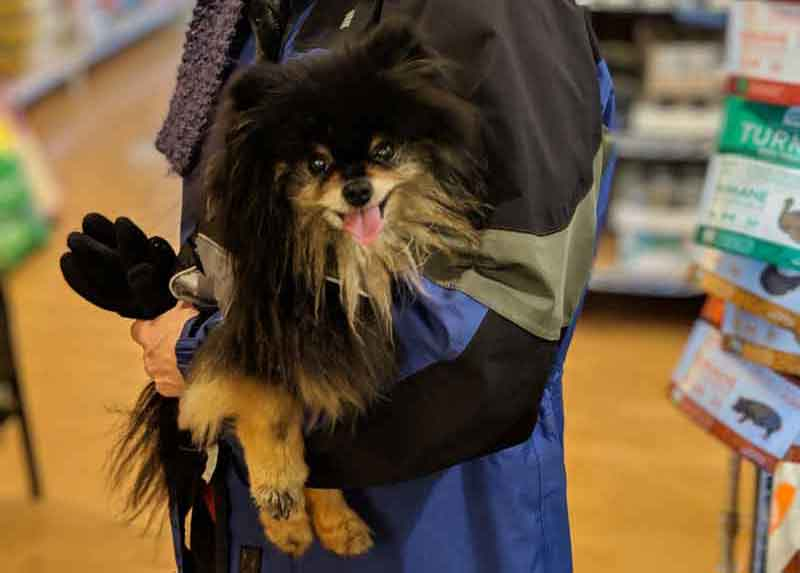 Pomeranian shopping at Tre Bone
