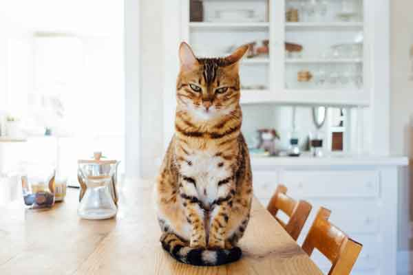 Cat sitting on dining room table