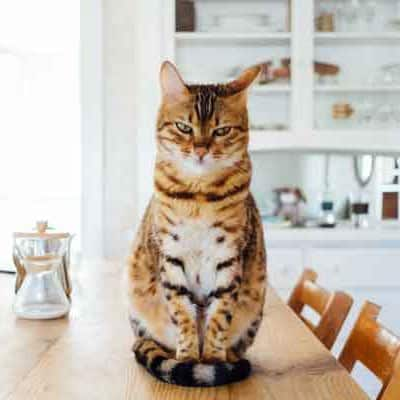 cat sitting on table waiting for treats