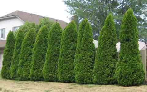 Row of Emerald Cedar Trees