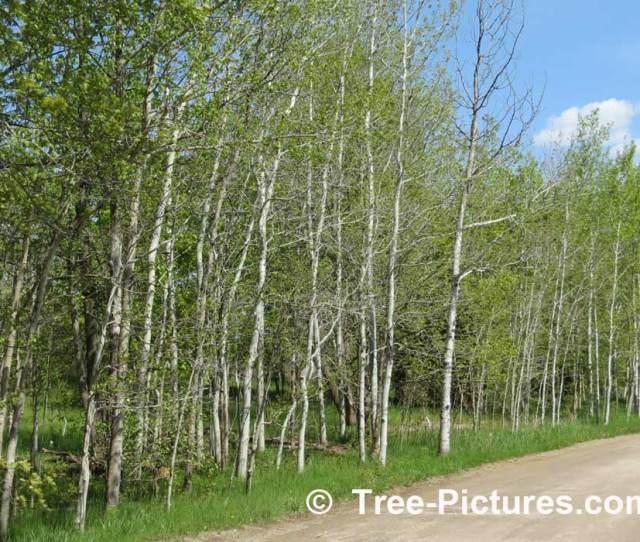 Aspen Stand Of Trembling Aspen Trees Aspen Trees Tree Pictures Com