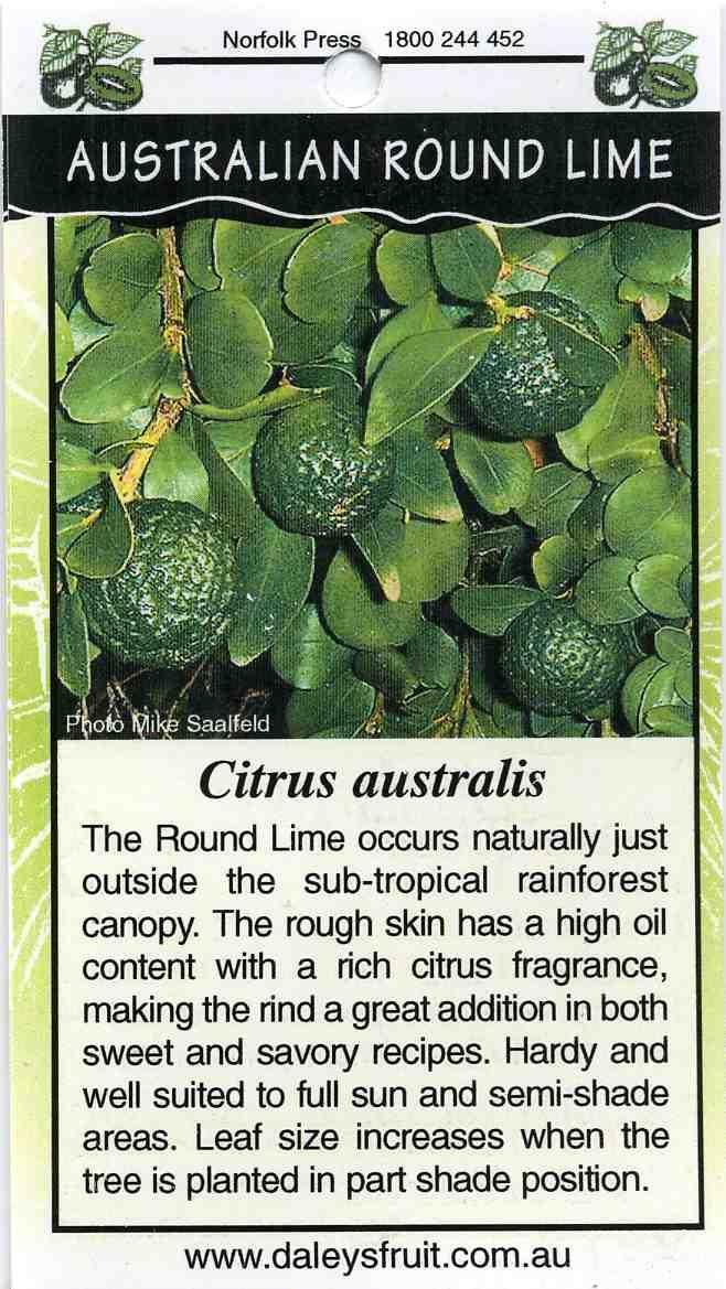 Australian Round Lime Citrus Australis Buy Australian