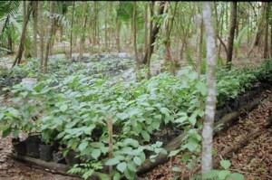 plantas iquitos ayahuasca