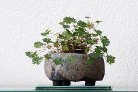 spring_geranium_pot_takahama