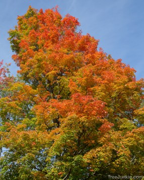 Sugar Maple Glory