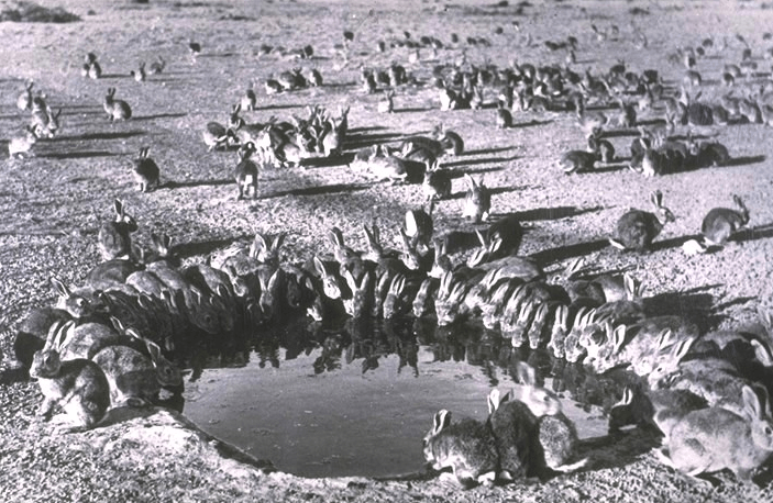 wild rabbits drinking in water hole australia