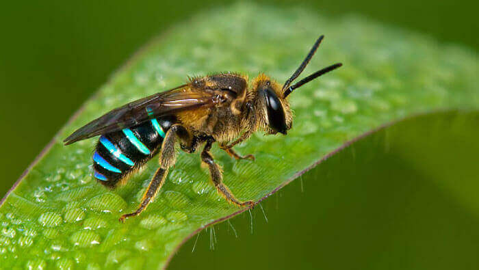 native bees for sale