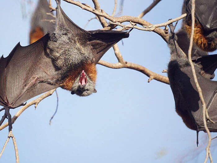 flying fox tree removal rescue