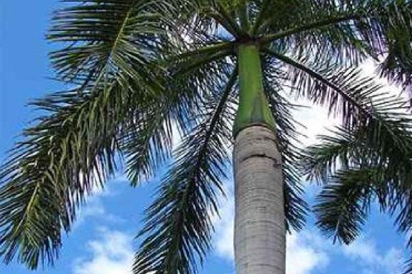 cuban royal palm tree removal brisbane northside