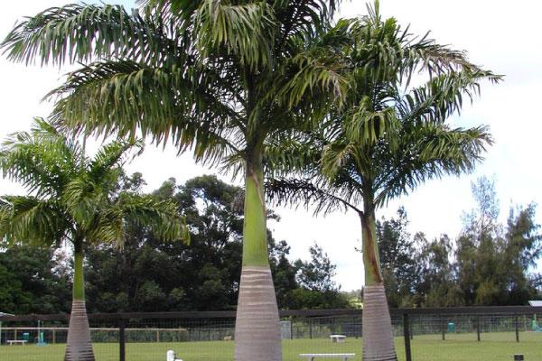 cuban royal palm tree removal