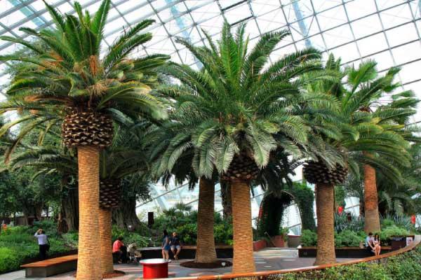 pandanus palm for sale